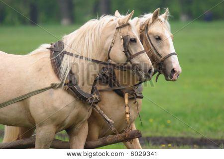 Pair Of Horses Hard Working