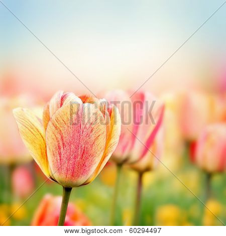 Beautiful spring tulips field