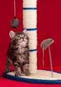 Curious kitten on the scratching post over red background poster