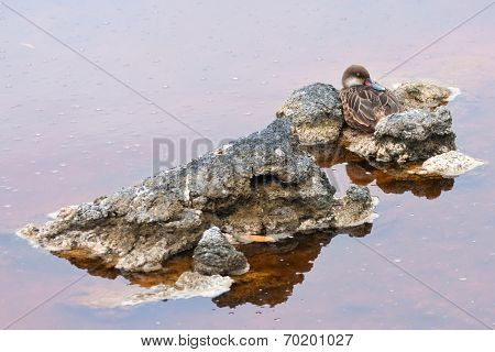 White-cheeked pintail duck, Galapagos islands