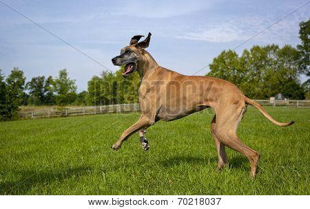 Great Dane striding across field