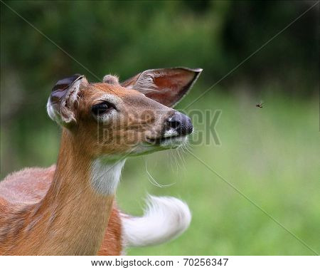 White tailed deer and deerfly