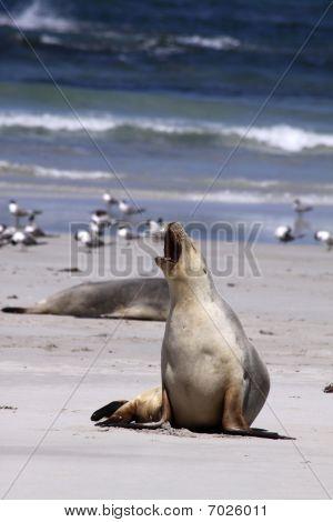 Australian Sea Lion (Neophoca cinerea) at Kangaroo Island. Australia poster