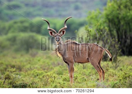 Alert male kudu antelope (Tragelaphus strepsiceros) in natural habitat, South Africa