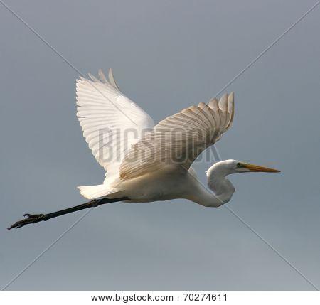 A Snowy Egret