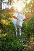 Funny Goat chews a fresh green grass  poster
