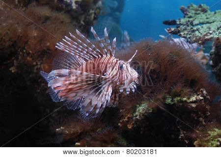 Red Lionfish (Pterois volitans).