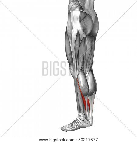 Concept or conceptual 3D soleus human lower leg anatomy or anatomical and muscle isolated on white background poster