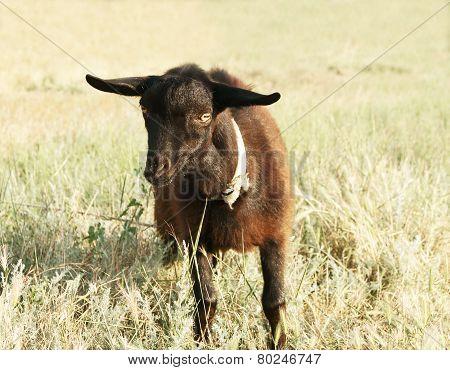 Black Goat Kid