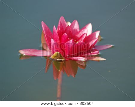 Nymphaea (red water lily) three