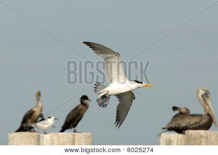fliegender Gull Vogel