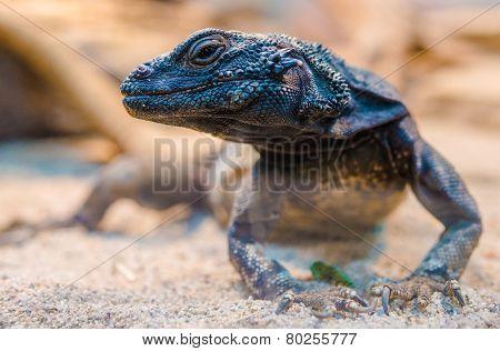 Desert Iguana Closeup