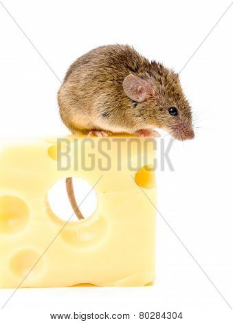 House Mouse (mus Musculus) On Big Cheese