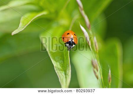 Red ladybug on the leaf