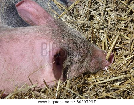 A portrait of a young pig
