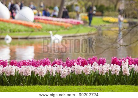 A Group Of Pink Hyacinths In Spring Time