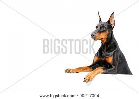 Waiting for you. Portrait of doberman pinscher peering out on isolated white background. poster