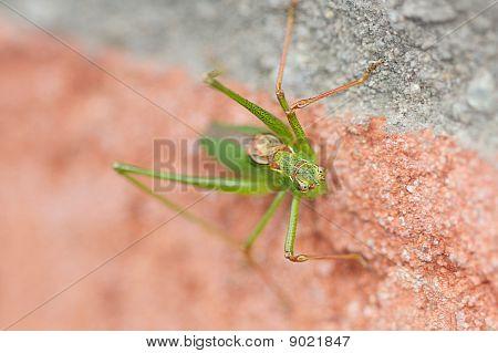 Grashopper Closeup