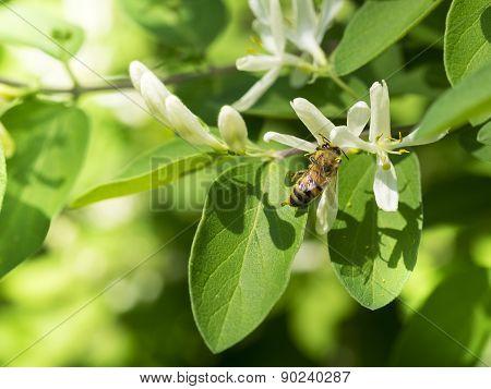 Honey Bee on Privet Shrubbery White Blooms