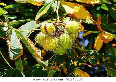 Horse Chestnut Conker Pods on Tree.