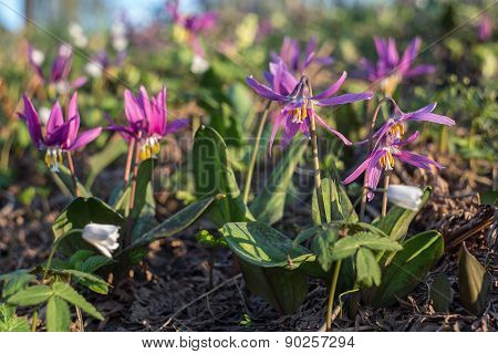 Erythronium Sibiricum