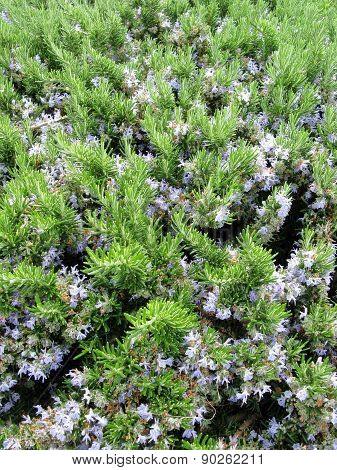 Blue flowering rosemary