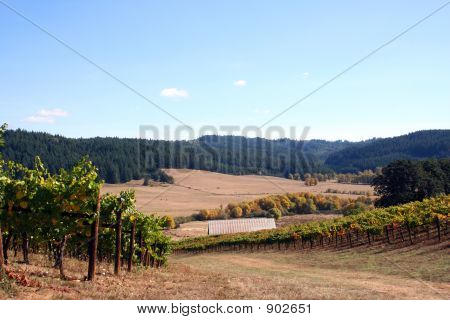 Landscape Of Autumn Vineyard