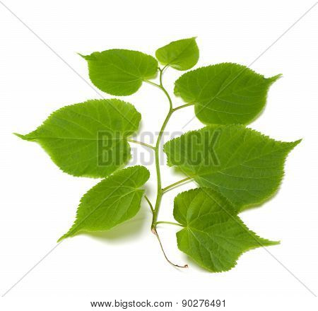 Spring Tilia Leafs On White Background