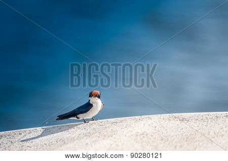 Wired Tailed Swallow On Edge Of River Boat