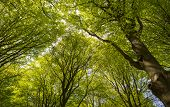 Sunny foliage of a beech forest in spring poster