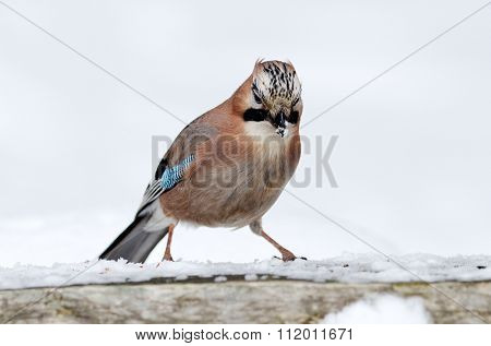 jay in natural habitat (Garrulus Glandarius)