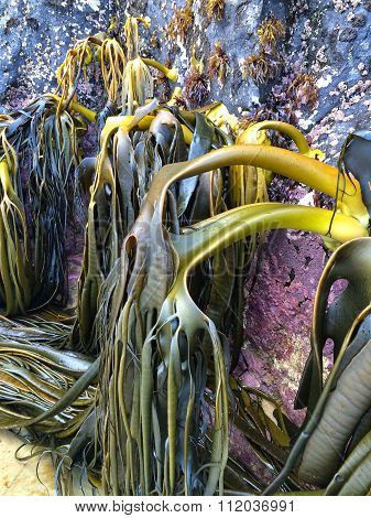 Bull Kelp On The Rocks Of Cathedral Caves Beach, Catlins, New Zealand