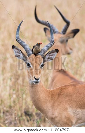 A Male Impala (aepyceros Melampus) With A Red-billed Oxpecker Perched In Between Its Horns