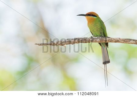 Böhm's Bee-eater (merops Boehmi) Perched On A Branch