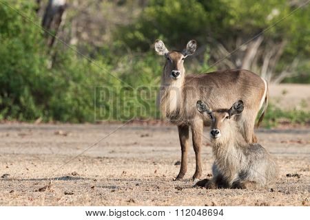 Pair Of Waterbucks (kobus Ellipsiprymnus) At Rest