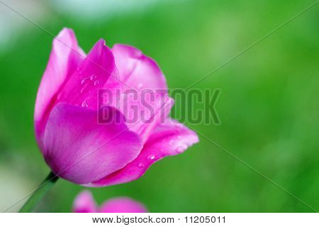 Pink tulip with dewdrops