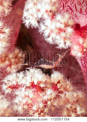 Shrimp On Pink Soft Coral