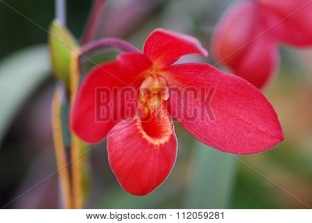 Red Yellow Orchid Flower