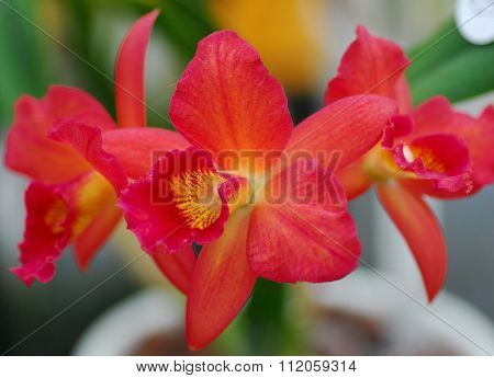 Orange Yellow Cattleya Orchid Flower