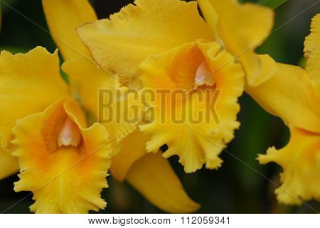 Yellow Cattleya Orchid Flower