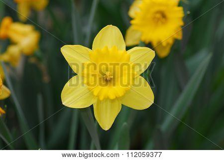 Daffodil Narcissus Yellow Flower