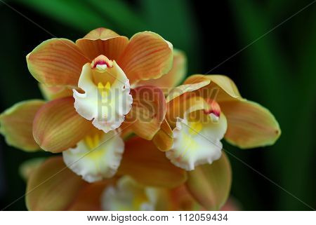 White Brown Cymbidium Orchid Flower