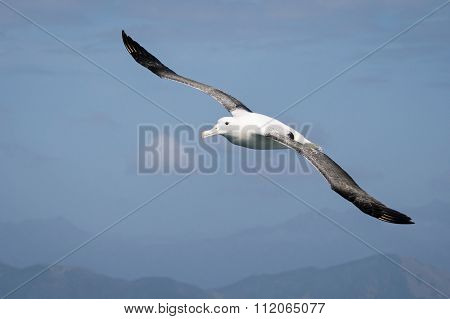Flying Wandering  Albatross, New Zealand
