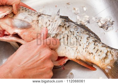 Gutting Of Freshly Caught Fish Carp