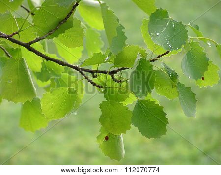 leaves of aspen poplar
