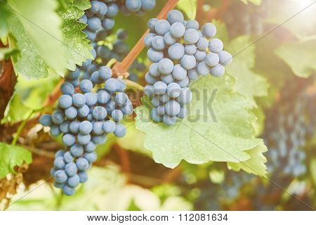 Red ripe bunch of grapes in vineyard during fall harvest. Selective focus