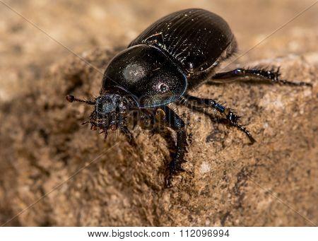 Dor beetle (Geotrupes stercorarius) showing iridescent violet colour