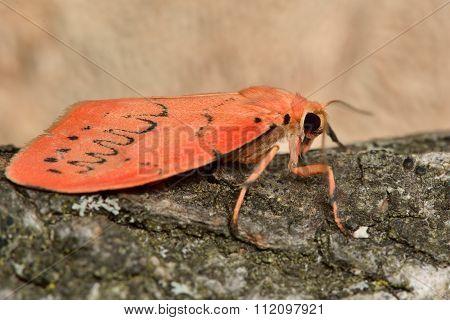 Rosy footman moth (Miltochrista miniata)