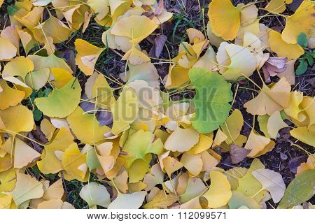Green and yellow fall leaves of Gingko on ground during Autumn serson
