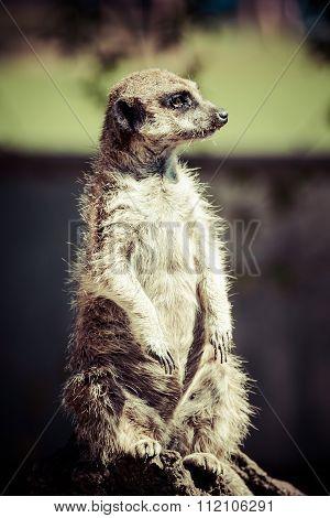 Meerkat, Meercat (surikate) Standing Upright As Sentry - Suricata Suricatta..